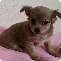 Adopt A Pet :: Nutmeg - Stockton, CA