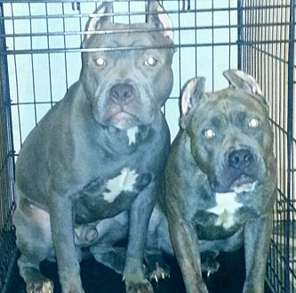 Pit Bull Terrier Mix Dog for adoption in Baltimore, Maryland - Truth (COURTESY POST)