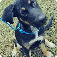 Shepherd (Unknown Type) Mix Puppy for adoption in Halethorpe, Maryland - Riley Adoption Pending Congrats Courtney!