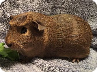 Guinea Pig for adoption in Steger, Illinois - Daphne