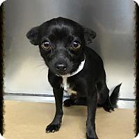 Adopt A Pet :: Zumi - Los Alamitos, CA