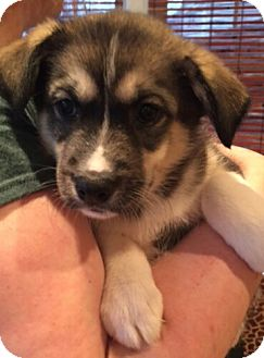 Husky Mix Puppy for adoption in Chantilly, Virginia - Angel Pup Queen Mab