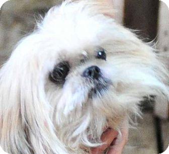 Pekingese Dog for adoption in Vernonia, Oregon - Jill
