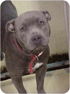 American Pit Bull Terrier Dog for adoption in Emory, Texas - Teresa
