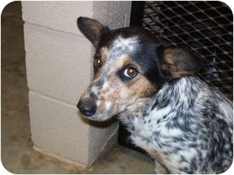 Blue Heeler Catahoula Mix Dogs | Dog Breeds Picture