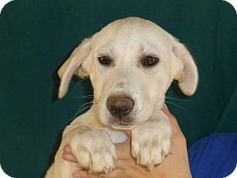 Golden Retriever/Labrador Retriever Mix Puppy for adoption in Oviedo, Florida - Vam
