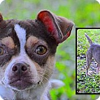 Adopt A Pet :: Escarlit - Brooksville, FL