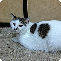 Domestic Shorthair Cat for adoption in Miami, Florida - Dove
