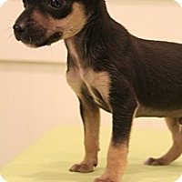 Adopt A Pet :: Primo - Hagerstown, MD