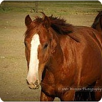 Quarterhorse/Other/Unknown Mix for adoption in Bayfield, Colorado - Pacino