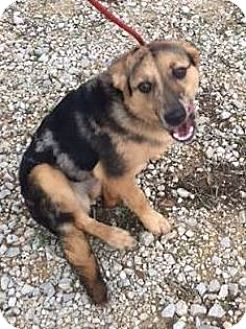 German Shepherd Dog/Catahoula Leopard Dog Mix Puppy for adoption in Rocky Hill, Connecticut - LadyS