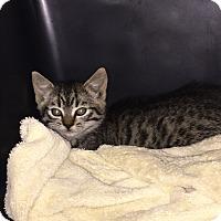 Adopt A Pet :: Female kitten - Garwood, NJ