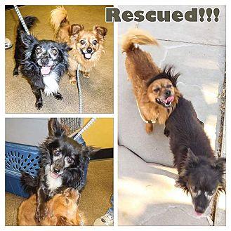Pomeranian/Chihuahua Mix Dog for adoption in Gilbert, Arizona - Harvey and Gavin