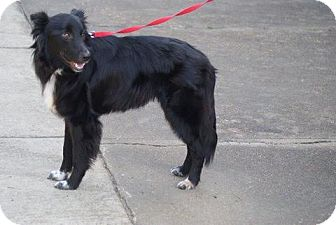 Border Collie Mix Dog for adoption in Munford, Tennessee - Roamer