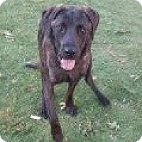 Labrador Retriever/Flat-Coated Retriever Mix Dog for adoption in Manchester, New Hampshire - Justice