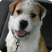 Terrier (Unknown Type, Medium) Mix Dog for adoption in Seattle, Washington - Vinny - Adorable Terrier Mix