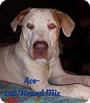 Labrador Retriever/Hound (Unknown Type) Mix Dog for adoption in Cheney, Kansas - Ace