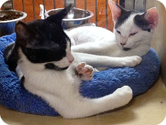 Domestic Shorthair Kitten for adoption in Beaumont, Texas - Maverick