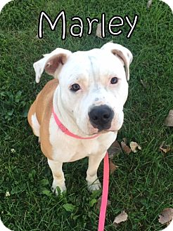 Pit Bull Terrier Dog for adoption in Tremont, Illinois - Marley
