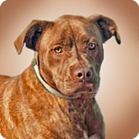 Adopt A Pet :: Cinnamon - Prescott, AZ