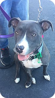 American Staffordshire Terrier/American Pit Bull Terrier Mix Dog for adoption in Santa Ana, California - Misty (SZ)