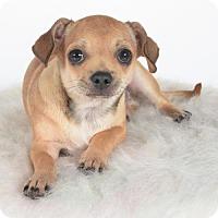 Adopt A Pet :: Thor - St. Louis Park, MN