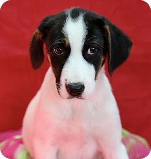 Labrador Retriever Mix Puppy for adoption in Picayune, Mississippi - Star