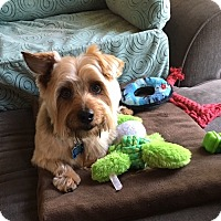 Adopt A Pet :: Beau - Downers Grove, IL