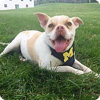 Adopt A Pet :: Peaches - Lake Odessa, MI