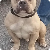 Adopt A Pet :: Harley - St Louis, MO
