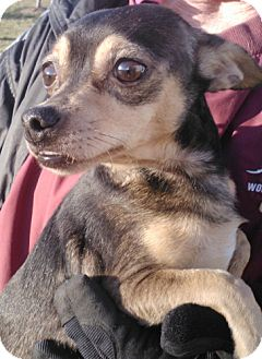 Chihuahua Mix Dog for adoption in Germantown, Maryland - Beasley