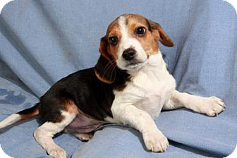 Beagle Mix Puppy for adoption in St. Louis, Missouri - Louis Beagle
