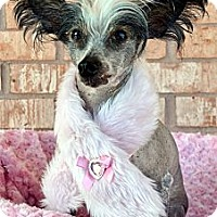 Adopt A Pet :: Lilly-Adoption pending - Bridgeton, MO