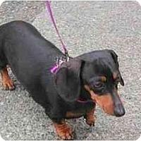 Adopt A Pet :: BETTY BOOP - Portland, OR