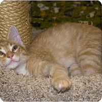 Adopt A Pet :: Pekoe - New Port Richey, FL