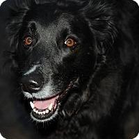Adopt A Pet :: Nicco - North Bend, WA