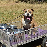 American Bulldog Mix Dog for adoption in Acton, California - Ross