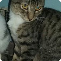 Domestic Shorthair Kitten for adoption in Old Town, Florida - Mudge