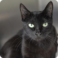 Adopt A Pet :: Midnight 151386 - Atlanta, GA