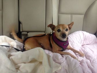 Chihuahua/Whippet Mix Dog for adoption in Studio City, California - Gus