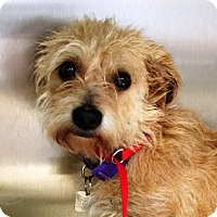 Adopt A Pet :: I'M ADPTD Chauncey Mullarkey - Oswego, IL