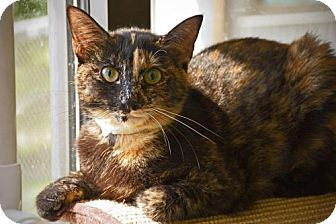 Domestic Shorthair Cat for adoption in Beckley, West Virginia - Mia
