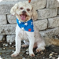 Shih Tzu/Poodle (Miniature) Mix Dog for adoption in Terrell, Texas - Dusty