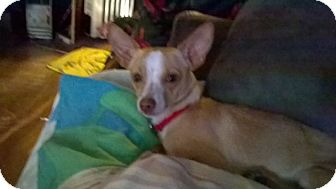 Chihuahua Mix Dog for adoption in Hainesville, Illinois - Tinkerbell