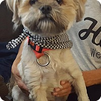 Lhasa Apso Dog for adoption in Livonia, Michigan - Vegas