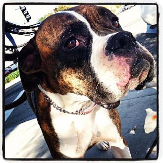 Boxer Dog for adoption in Fremont, California - Zoe