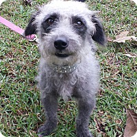 Poodle (Miniature)/Jack Russell Terrier Mix Dog for adoption in Snow Hill, North Carolina - Panda-Poo