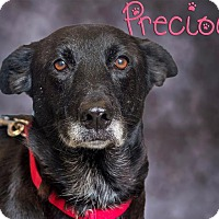 Shepherd (Unknown Type)/Labrador Retriever Mix Dog for adoption in Somerset, Pennsylvania - Precious