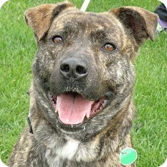 Boxer/German Shepherd Dog Mix Dog for adoption in Garfield Heights, Ohio - Captain