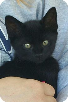 Domestic Shorthair Kitten for adoption in Homewood, Alabama - Salem